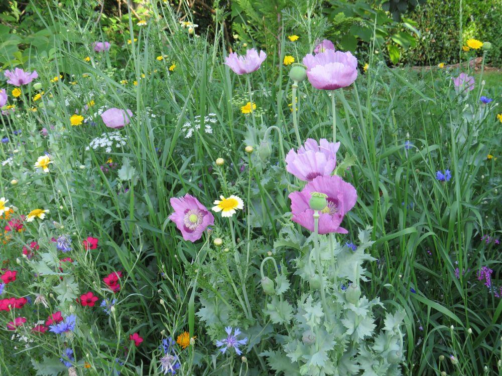 Blumenwiese_in_Hildboltsweier
