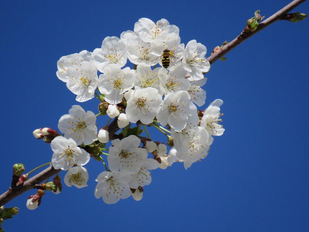 Kirschblüten_in_Hildboltsweier
